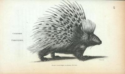 common-porcupine-e15fcb-640