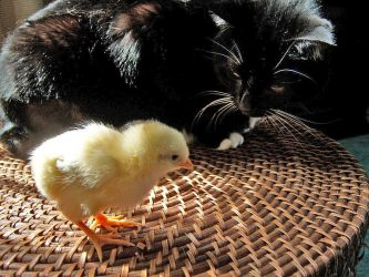 cat_and_chicken_by_moeoeop