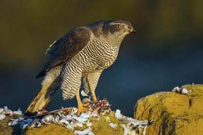 440px-northern_goshawk_-_catalonia_-_spain_s4e8845_282521789449529