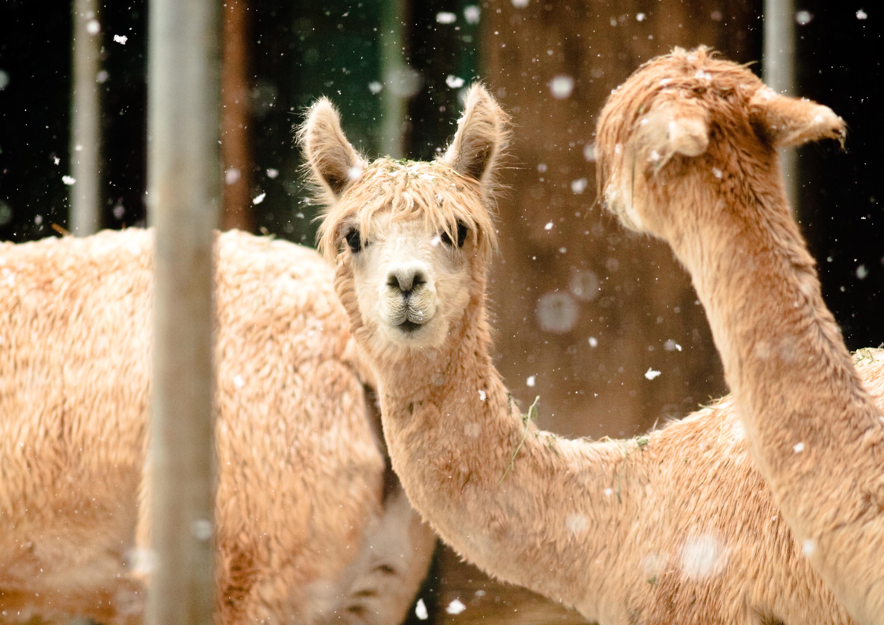 alpacas_in_the_snow_28389931937629